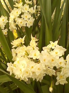 more narcissus