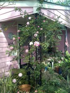 pink running rose