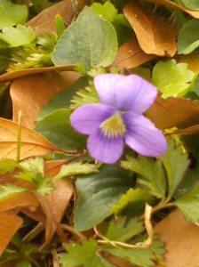 violet close up