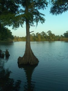 cypress in Taylor's bayou