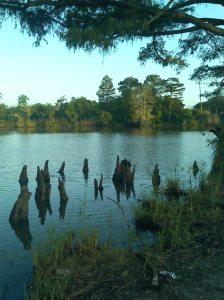 cypress knees in water.
