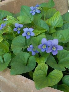 violets-in-a-pot